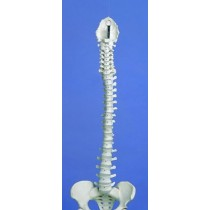 Flexible Spine, Medical, With Pelvis