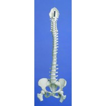 Flexible Spine, Medical, With Pelvis And Femur Ends