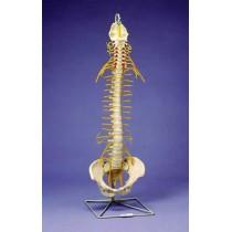 Flexible Spine, Medical, With Tilt And Torsion