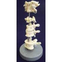 Comparative Vertebrae Set