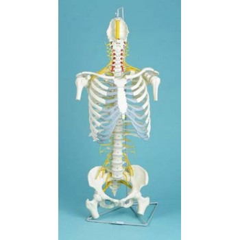 Spine, Medical, With Rib Cage