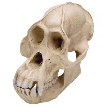 Orang Utan Skull, Plastic