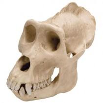 Gorilla Skull, Plastic