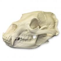 American Black Bear Skull