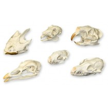Comparative Skull Set