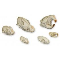 Dietary Skull Set