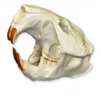 American Beaver Skull