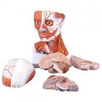 Head & Neck Musculature, 5-Part