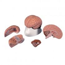 Brain, 4 Parts