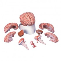 Brain 9 Part With Arteries
