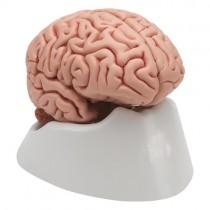 Brain, Life-Size, 5-Part