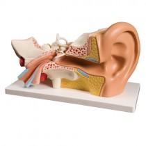 Ear Model, 4 Part