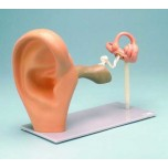 Ear Functional Enlarged Model