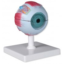 Eye Model, 4x Life Size, 6-Part