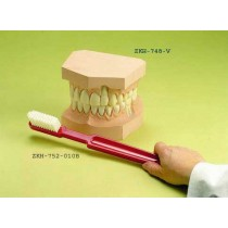 Upper and Lower Teeth Set with Giant Toothbrush