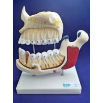 Upper & Lower Jaw Model