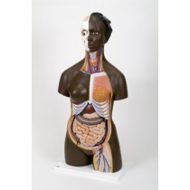 African Dual Sex Torso with Head, 24 Part
