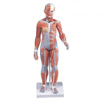 Muscular Model 1/2 Size,20 Parts