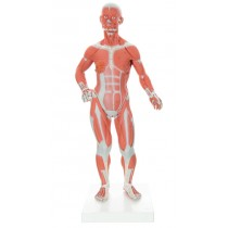 Miniature Muscular Model, 2 Part