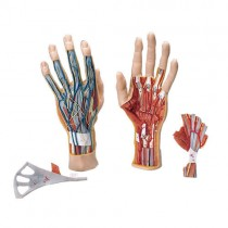 Hand Model, 3 Parts