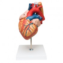 Heart with Oesophagus and Trachea, 2x life-size, 5 part