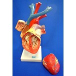 Heart Enlarged, Flexible Model, Numbered
