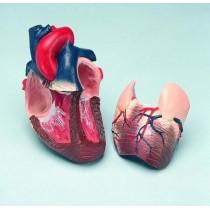 Heart Life Size