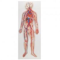 Circulatory System 1/2 Size