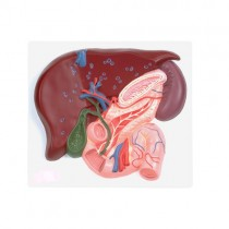 Liver, Pancreas & Duodenum