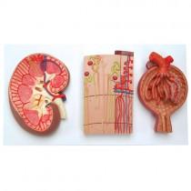Kidney, Nephron and Glomerulus Model