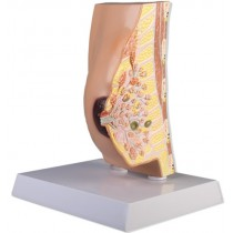 Breast Cross Section